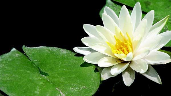 white lotos flower water
